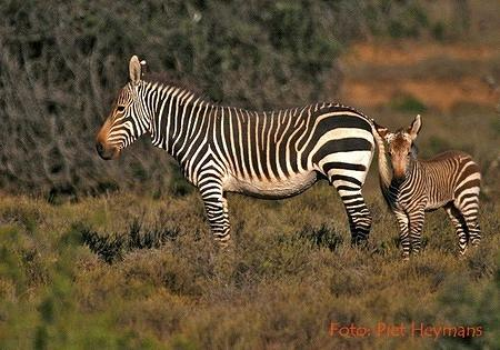 mountain zebra and foal
